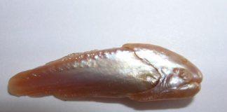 Natural Pearl form Fish