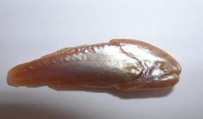 Natural Pearl form Fish